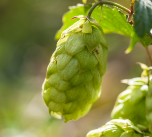 Deep Dive into London Steam Lager. Close up photograph of a green hop bud.